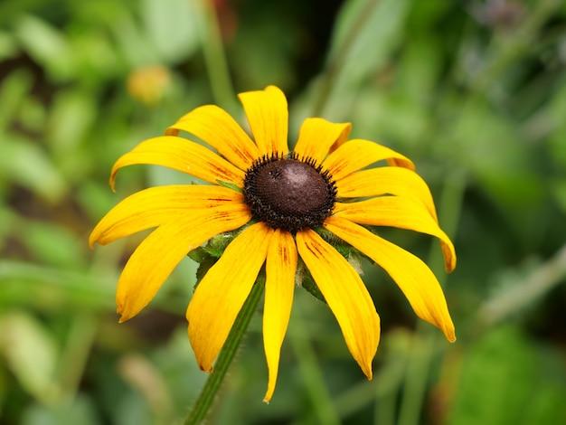 Ripresa macro di un fiore di rudbeckia hirta - perfetto per la carta da parati