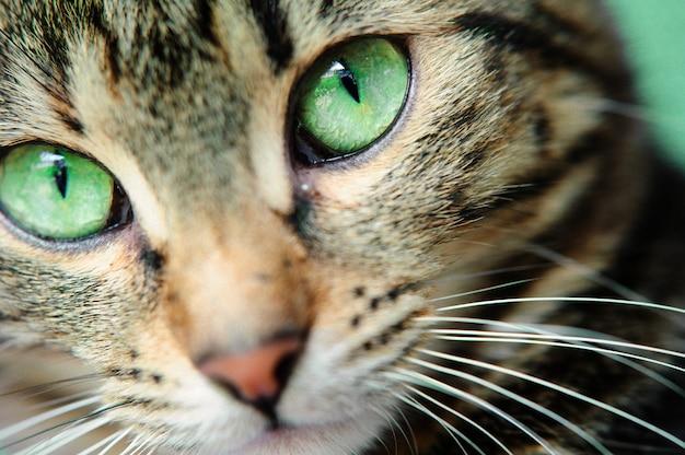 Una ripresa macro del volto di un giovane gatto tabby. concentrati sui suoi splendidi occhi verdi