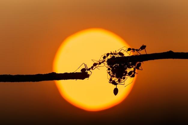 Formica rossa della macro siluetta che cammina sul fondo di tramonto e del ramo di albero
