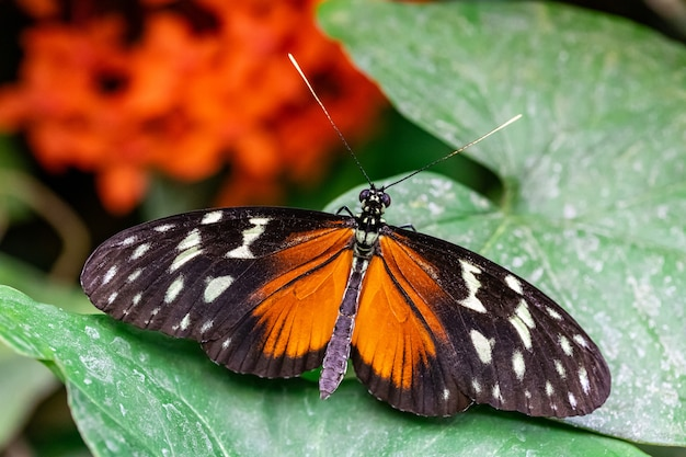 Macro di tiger longwing (heliconius hecale) farfalla sulla foglia verde visto dall'alto