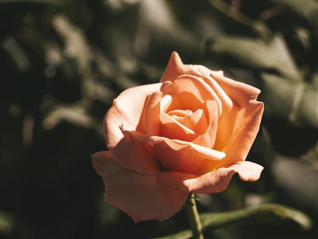 Vista macro di fioritura arancione rosa in sinlight. fiore d'arancio magico sognante bella fata. dark art moody floral.