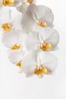 Macro di fiori di orchidea bianca. orchidaceae. phalaenopsis.