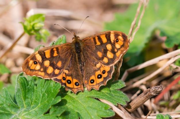 Farfalla maculata con ali aperte. pararge aegeria. copia spazio