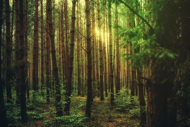 Luce magica del sole nella foresta, sullo sfondo della natura