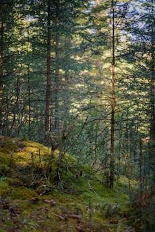 Magica foresta di conifere sulla soleggiata giornata estiva