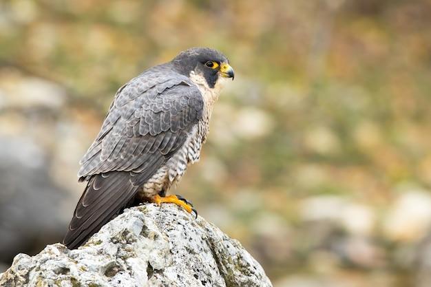 Magnifico falco pellegrino che fissa sulla roccia in primavera.