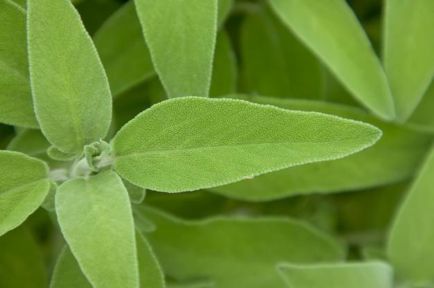 Ingrandimento di una foglia di salvia salvia, pianta usata come spezia in cucina.
