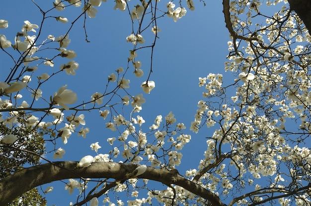 Magnolia nel cielo azzurro