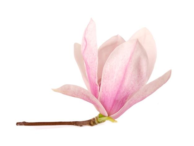 Fiore di magnolia isolato su superficie bianca