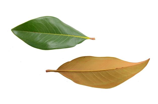 Foglie di magnolia su sfondo bianco. vista piana, vista dall'alto