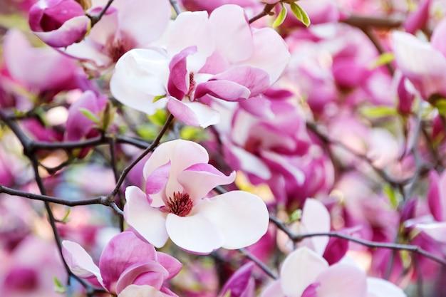 L'albero del fiore di rosa della magnolia fiorisce, ramo del primo piano, all'aperto.