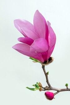 Magnolia fiore rosa sfondo bianco fioritura viola lilla viola