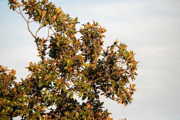 Albero di magnolia sotto il cielo all'ora del tramonto