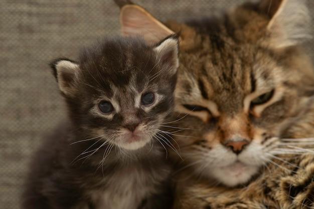 Famiglia di gatti maine coon. mamma gatta con gattino