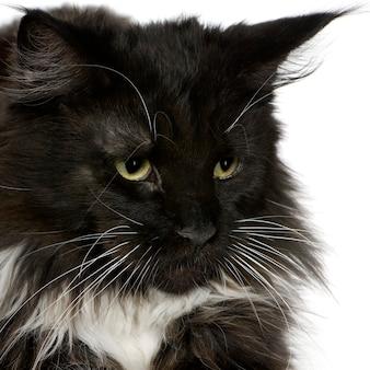 Ritratto del gatto di maine coon isolato