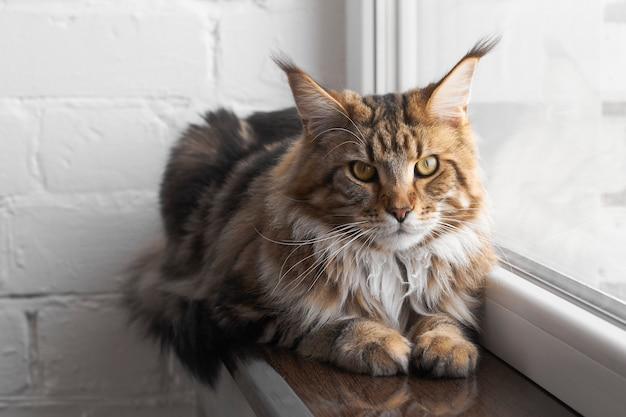 Il gatto maine coon si siede sul davanzale contro il muro di mattoni bianchi