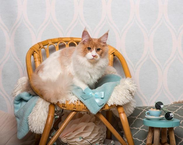 Maine coon cat seduto su una sedia in studio, ritratto