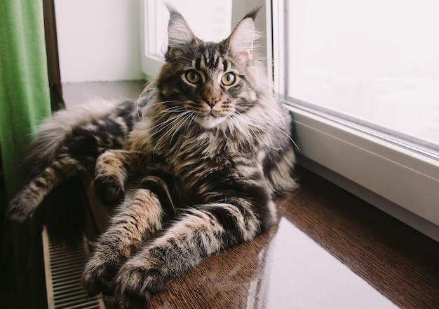 Gatto di coon della maine su un davanzale della finestra