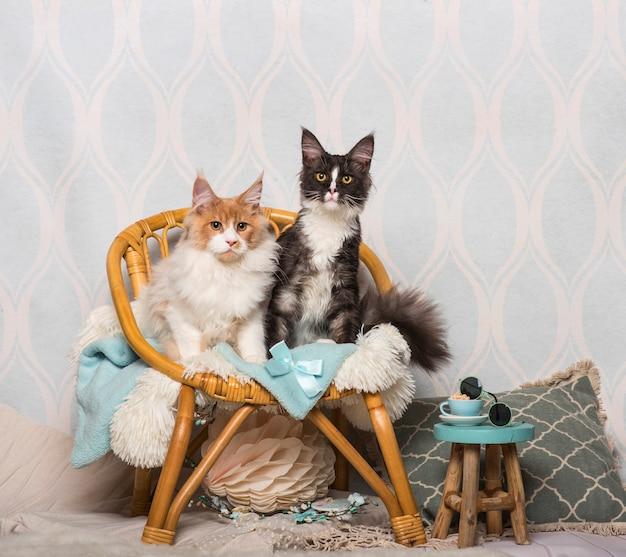 Maine coon gatti seduti su una sedia in studio, ritratto