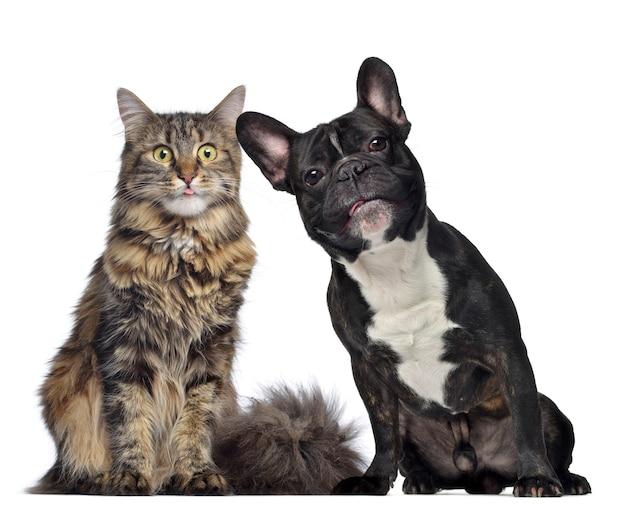 Coon del maine e bulldog francese seduti uno accanto all'altro