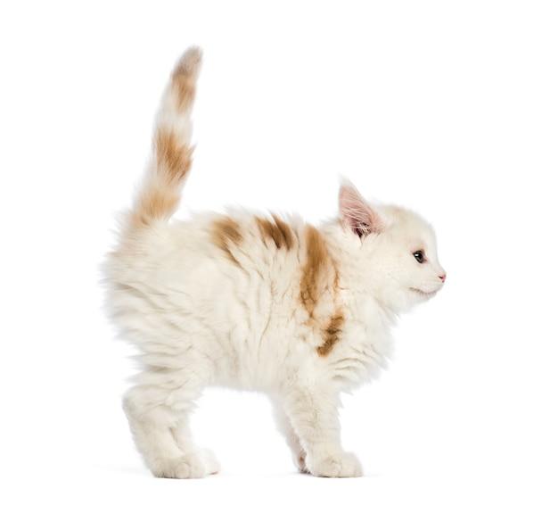 Gattino maine coon, 8 settimane, davanti a sfondo bianco
