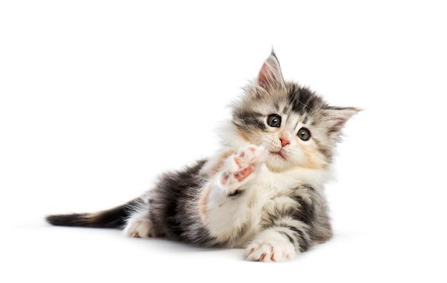 Maine coon kitten, 8 settimane, raggiungendo con la zampa, davanti a uno sfondo bianco