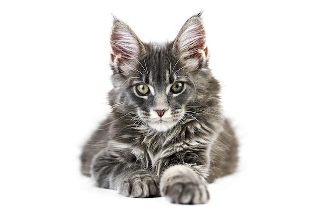 Gattino del coon della maine, isolato. simpatico gatto maine-coon. piccolo gatto di razza divertente, colore grigio