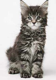 Gattino di maine coon su uno spazio leggero, gatto lanuginoso