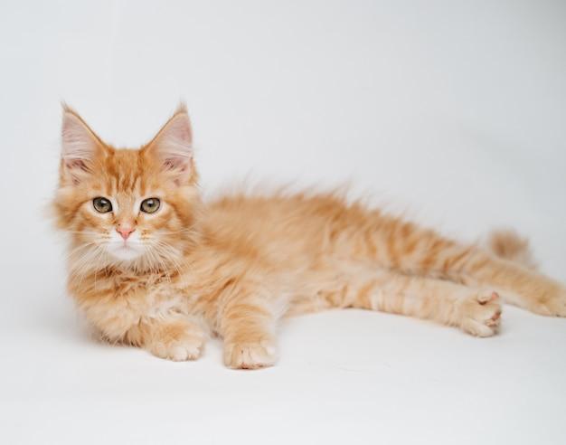 Gattino di maine coon su una parete leggera, gatto lanuginoso