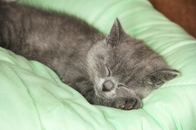 Il gattino del maine coon dorme sotto la coperta. gattino di razza britannica