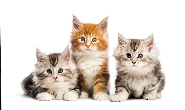 Gattini maine coon, 8 settimane, sdraiati insieme, di fronte a una superficie bianca