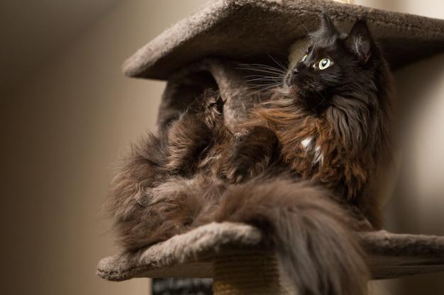 Maine coon che si trova nella casa di gatto