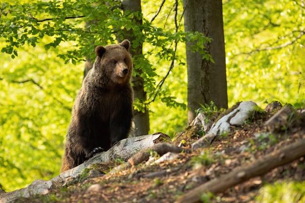 Orso bruno maestoso osservando nella foresta durante l'estate.