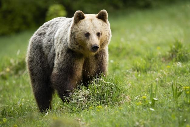 Orso bruno maestoso che sta sul prato in natura di estate.