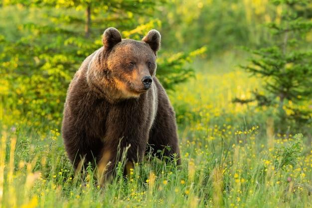 Maestoso orso bruno in piedi sul prato nella natura estiva.