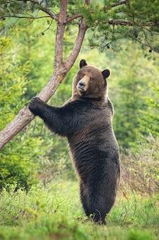 Maestoso orso bruno, ursus arctos, in piedi verticalmente nella foresta in estate.
