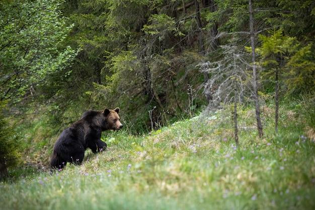 Orso bruno maestoso che cammina su un pendio coperto di erba nella foresta di estate