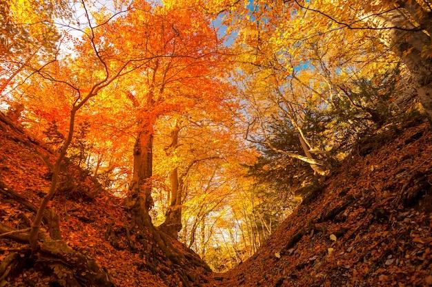 Maestosa foresta colorata con raggi di sole. foglie autunnali luminose. carpazi, ucraina, europa. il mondo della bellezza