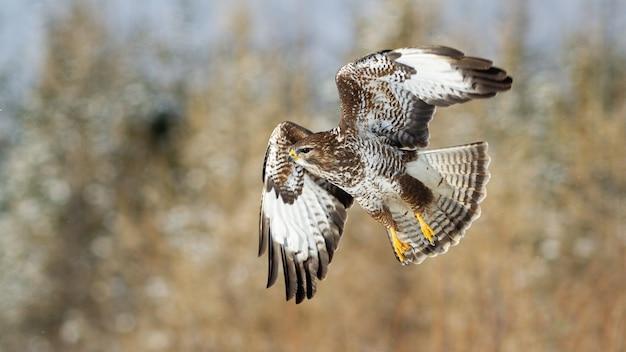 Maestosa poiana comune, buteo, che vola nell'aria in habitat innevato