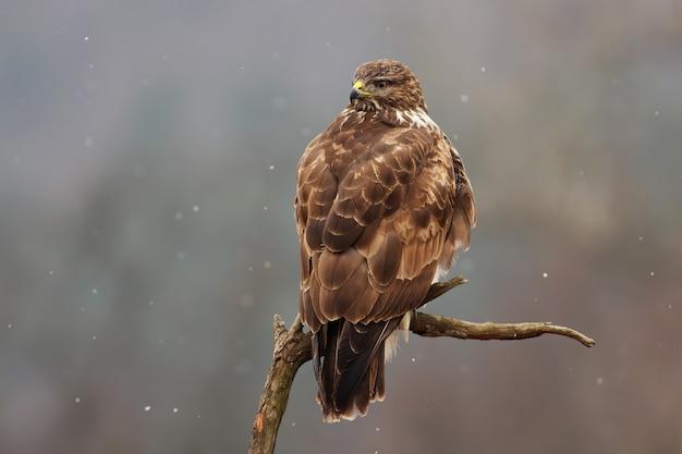 Maestosa poiana comune seduto sul ramo in inverno.