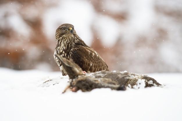 Majestic poiana comune seduto su un prato accanto a prede morte in inverno