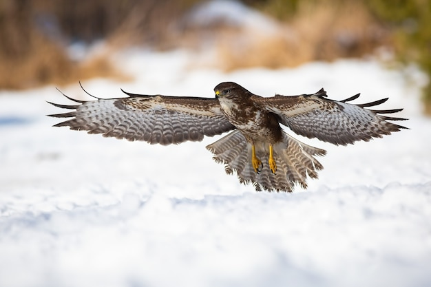 Maestosa poiana comune che decolla dalla neve durante la caccia invernale