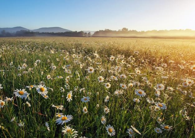 Maestoso campo di margherite e bellissimo tramonto estivo.