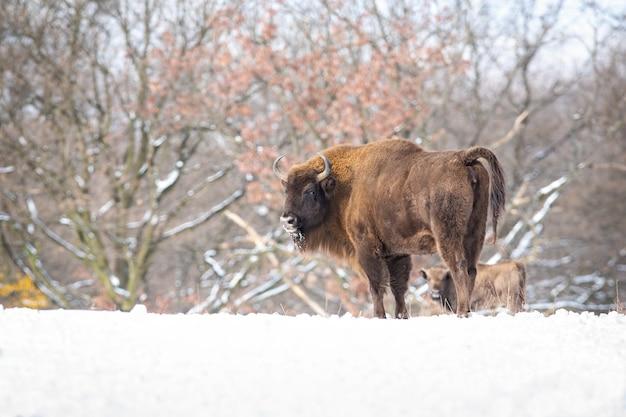 Maestoso maschio di bisonte europeo che sembra arrabbiato in un bosco innevato bianco