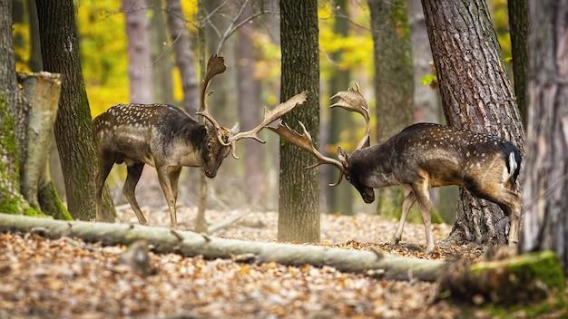 Maestosi daini che combattono nella foresta di autunno
