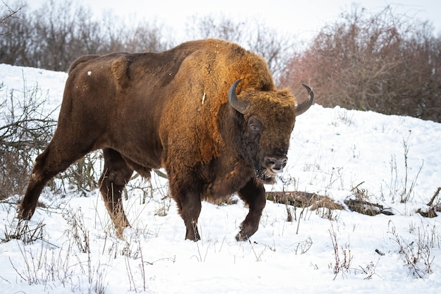 Maestoso maschio di bisonte europeo che mostra la lingua in condizioni meteorologiche invernali