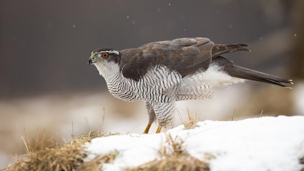 Maestoso astore settentrionale, accipiter gentilis, seduto sulla neve in inverno