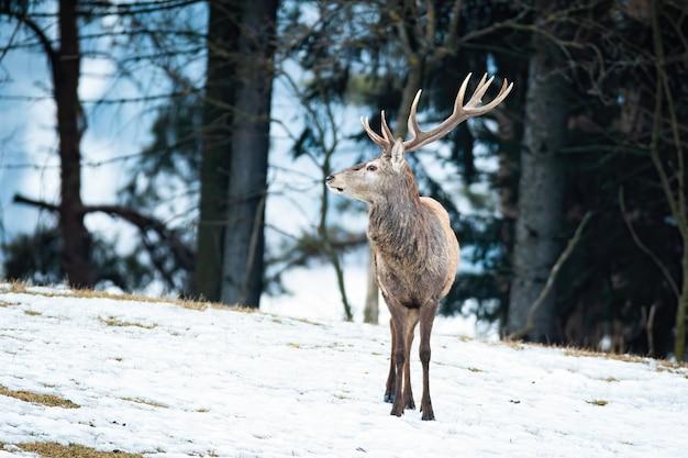 Maestoso cervo rosso che osserva nella natura invernale della foresta