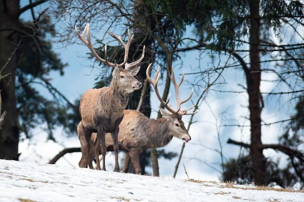 Maestosi cervi cervi rossi in piedi sulla neve nella natura invernale