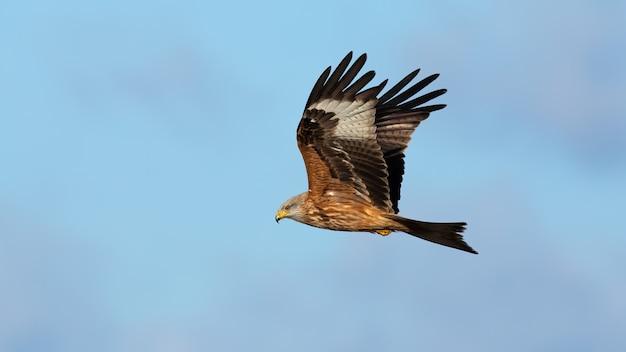 Maestoso aquilone rosso che vola nel cielo limpido dal lato